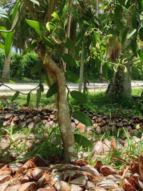 Orchidee da vaniglia