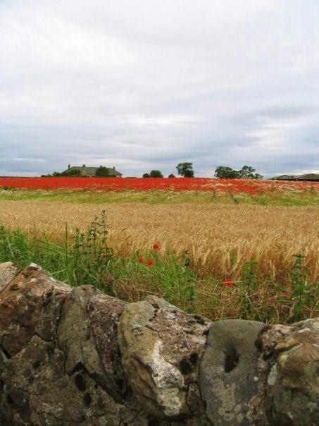 Campo di papaveri nel Fife